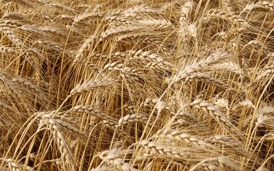 Экспортные цены на пшеницу растут